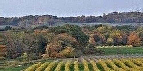 Johnson Estate Winery autumn vineyards