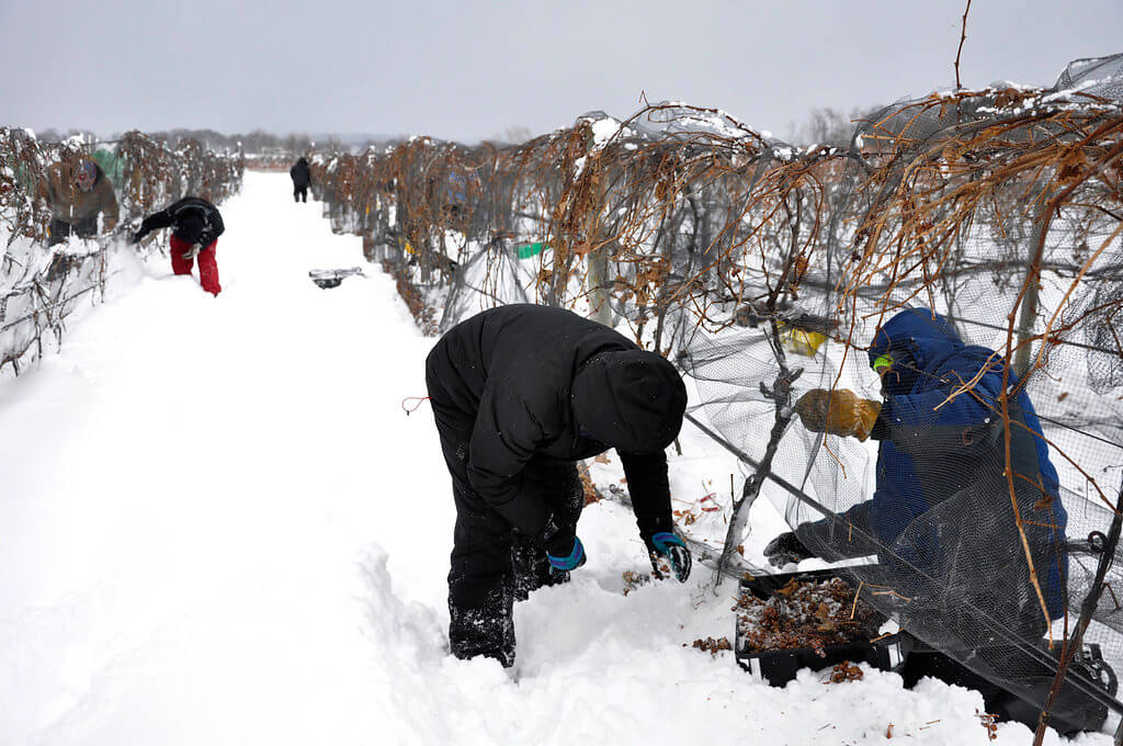 Johnson Estate Winery ice wine harvest