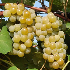 Niagara Grape