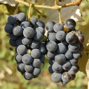 Ives Grape