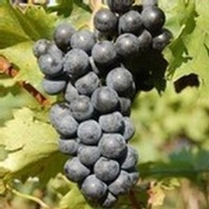 Chambourcin Grape