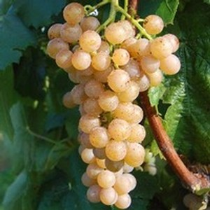 Traminette Grape