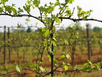 Vineyard bang