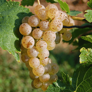 Vidal Grape