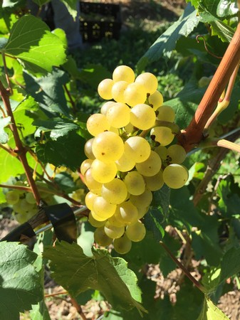 Great Grape Walk - September 22