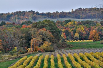 Fall Foliage Vineyard Walk
